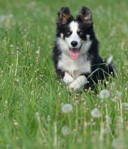 border-collie-672598_640